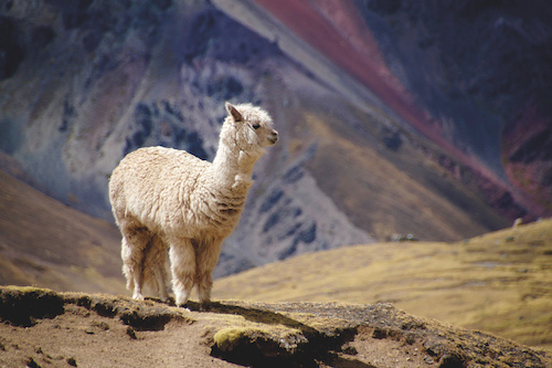 artigall: Alpaca Photography hinano